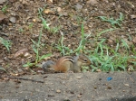 Carriage Road Chipmunk