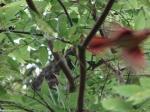 Dead Chief Trail Male Cardinal Juvenile