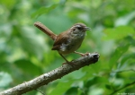 Hot Springs Mountain Trail Carolina Wren Juvenile