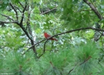Short Cut Trail Summer Tanager