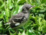 Superior Bathhouse Northern Mockingbird Baby