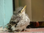 Superior Bathhouse Northern Mockingbird Chick