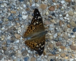Hot Springs National Park, Arkansas  Hackberry Emperor