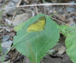 Dead Chief Trail Clouded Sulphur Butterfly