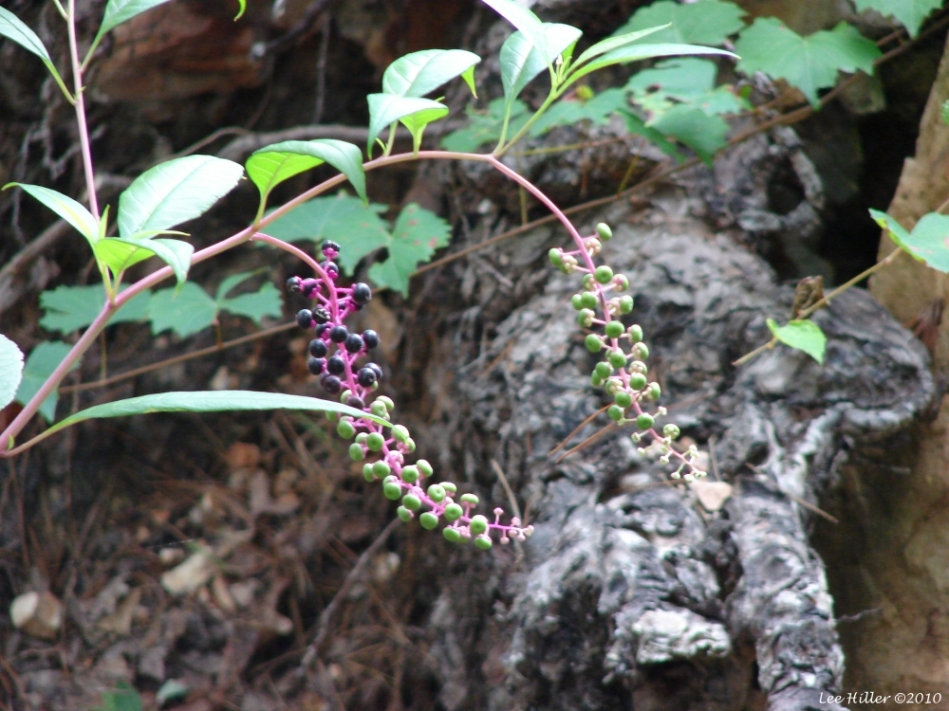 Hot Springs Moutain Trail Berries