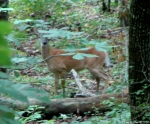 Hot Springs Moutain Trail Doe Deer