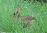 Tufa Terrace Eastern Cottontails