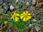 Hot Springs Mountain Trail Sneezeweed