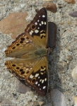 Hot Springs Mountain Rd Fountain Hackberry Emperor Butterfly