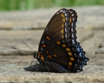 HS Mountain Rd Fountain Violet Black Orange Butterfly