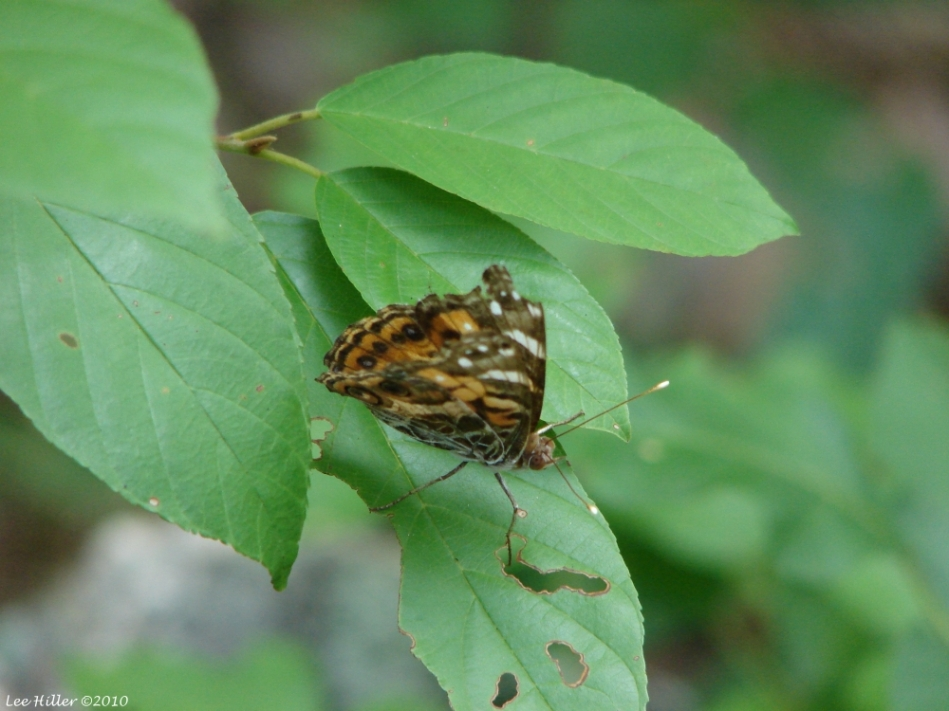 Lower Dogwood Trail American Lady Butterfly