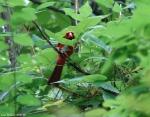 Lower Dogwood Trail Male Cardinal