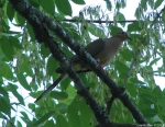 Carriage Road Mourning Dove