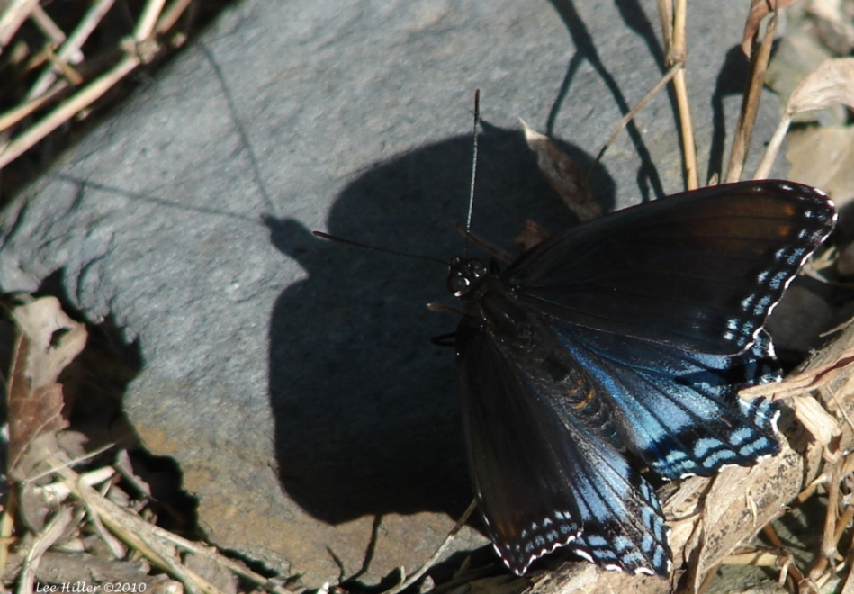 Floral Trail Midnight Blue Butterfly