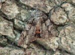 Lower Dogwood Trail Moth