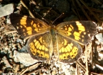 Short Cut Trail Pearl Crescent Butterfly