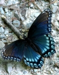 Lower Dogwood Trail Blue Turquoise Butterfly