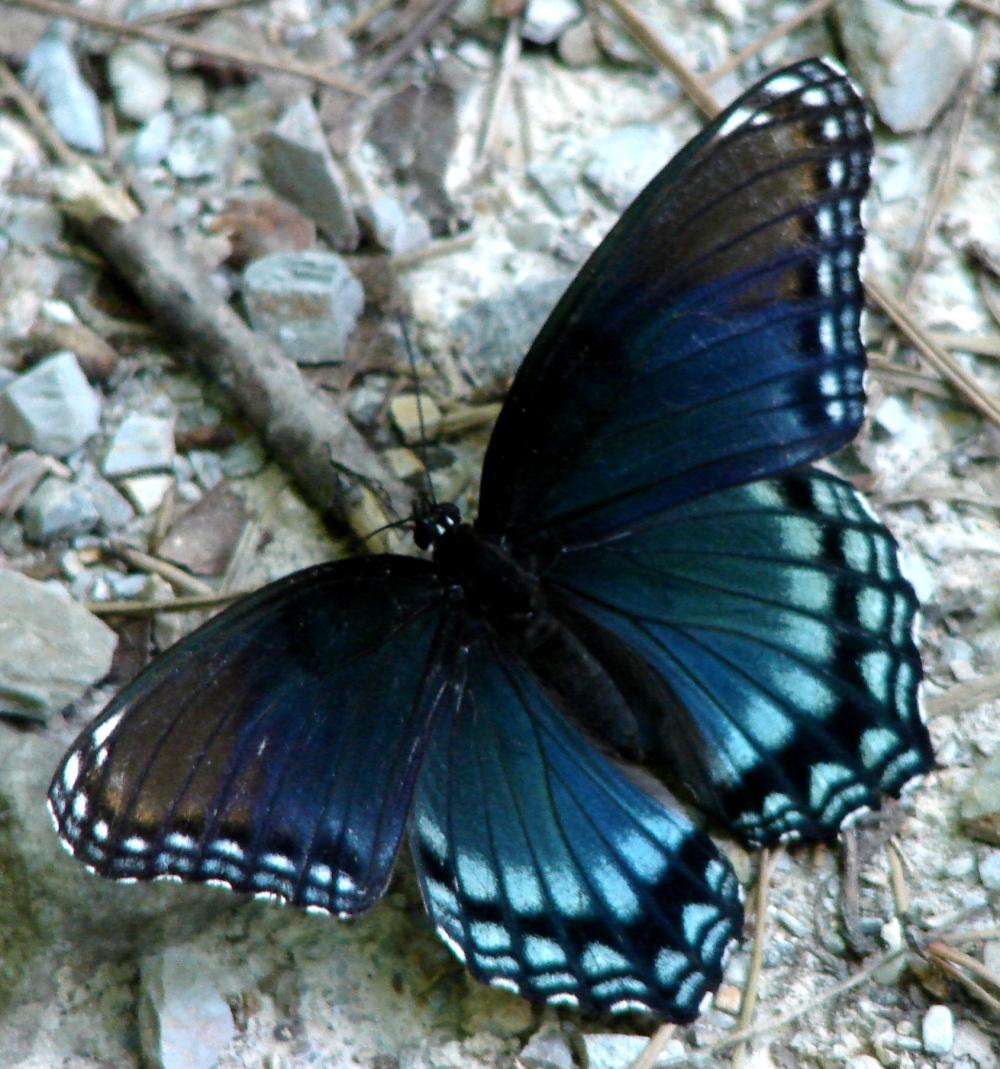 Turquoise Butterfly | ... Blue Buckeye Butterfly