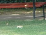 Arlington Lawn Dragonflies