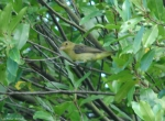 Carriage Road Juvenile Tanager