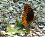 Floral Trail Great Spangled Fritillary