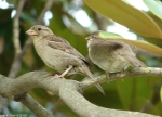Arlington Lawn Sparrows Mom Baby