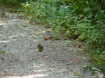Hot Springs Mountain Trail Chipmunk 1