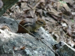 Hot Springs Mountain Trail Chipmunk 2