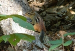 Hot Springs Mountain Trail Chipmunk 3