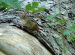 Hot Springs Mountain Trail Chipmunk 4