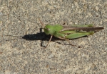 Hot Springs Mountain Trail Green Grasshopper