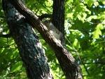 Hot Springs Mountain Trail Juvenile Squirrel