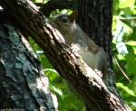 Hot Springs Mountain Trail Juvenile Squirrel