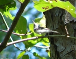 Hot Springs Mountain Trail Nuthatch