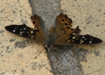 Hot Springs National Park, AR Promenade Hackberry Emperor Butterfly
