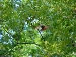Tufa Terrace Juvenile Cardinal