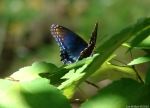 Upper Dogwood Trail Red Spotted Purple Butterfly