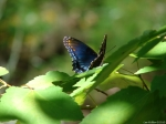 Upper Dogwood Blue Butterfly on Leaves