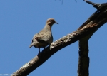 Uppe rDogwood Juvenile Mourning Dove