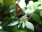 Upper Dogwood Silver Spotted Skipper Butterfly
