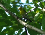 Hot Springs Mountain Trail Juvenile Orange-Crowned Warbler