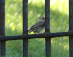 Carriage Road Sparrow On the Fence
