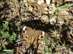 Hot Springs Mountain Trail Common Buckeye Butterfly