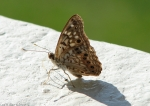 Hot Springs Mountain Trail Pagoda Hackberry Emperor Butterfly