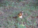 Hot Springs National Park, AR Arlington Lawn Chipmunk