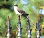 Carriage Road Northern Mockingbird