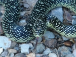 Hot Springs National Park, AR Short Trail Speckled Kingsnake