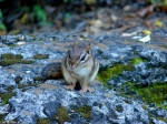 Hot Springs National Park, AR Tufa Terrace Chipmunk
