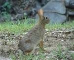 Carriage Road Eastern Cottontail