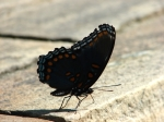 Fountain Street Red Spotted Purple Butterfly
